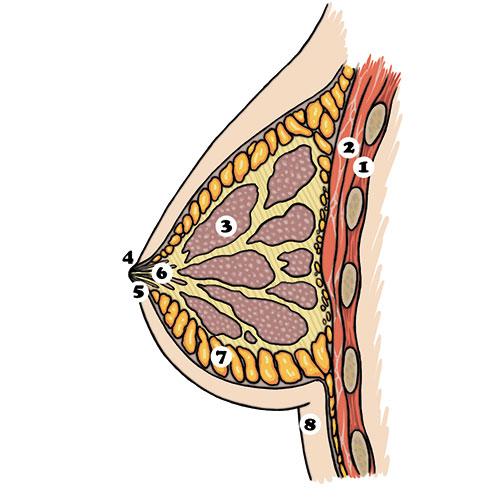 Przekrój piersi